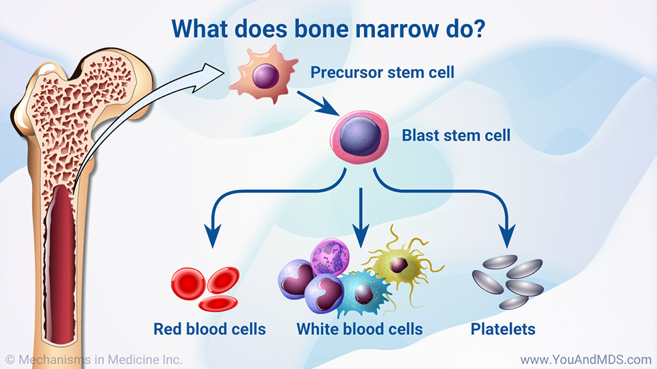 What does bone marrow do?
